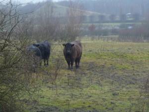 Galloway Rinder
